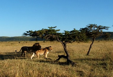 As close as we wanted to get to a pair of lions in the Mara