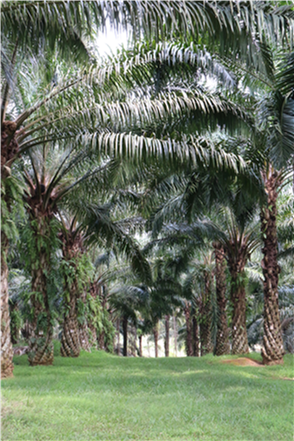 Palm oil-good or bad